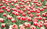 Tulip HD Wallpapers Album #19