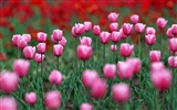 Tulip HD Wallpapers Album #20