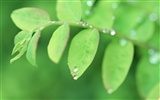 Fresh green leaf wallpaper (1)
