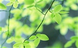 Fresh green leaf wallpaper (2)