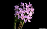 Beautiful and elegant orchid wallpaper #9