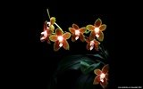 Beautiful and elegant orchid wallpaper #18
