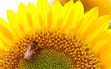 Sunny sunflower photo HD Wallpapers #13