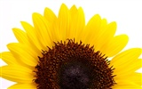 Sunny sunflower photo HD Wallpapers #14