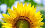 Sunny sunflower photo HD Wallpapers #16