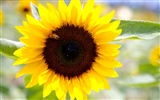 Sunny sunflower photo HD Wallpapers #18