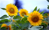 Sunny sunflower photo HD Wallpapers #19