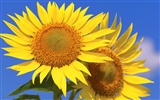 Sunny sunflower photo HD Wallpapers #21