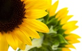 Sunny sunflower photo HD Wallpapers #22