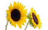 Sunny sunflower photo HD Wallpapers #23