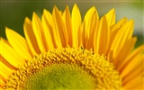 Sunny sunflower photo HD Wallpapers #24