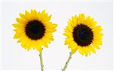 Sunny sunflower photo HD Wallpapers #27