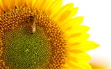 Sunny sunflower photo HD Wallpapers #28