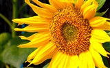 Sunny sunflower photo HD Wallpapers #32