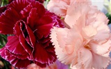 Mother's Day of the carnation wallpaper albums #28