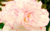 Mother's Day of the carnation wallpaper albums #36