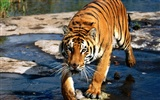 Foto Wallpaper Tigre (3)