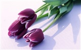 Tulip Widescreen Wallpaper