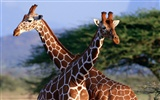albums wallpaper Girafe