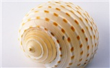 Conch Shell wallpaper album (1)