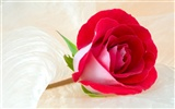 Large Rose Photo Wallpaper (3)