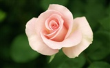 Large Rose Photo Wallpaper (4) #8