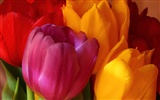 Large tulip wallpaper (2)
