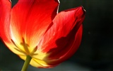 Large tulip wallpaper (2) #11