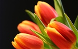 Large tulip wallpaper (2) #12