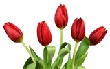 Large tulip wallpaper (3) #11