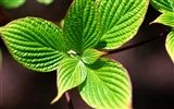 Green leaf photo wallpaper (1)