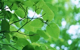 Green leaf photo wallpaper (3)