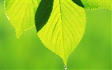 Green leaf photo wallpaper (5)