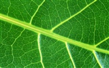 Green leaf photo wallpaper (6) #1