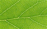 Green leaf photo wallpaper (6) #3