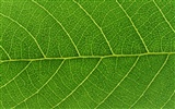 Green leaf photo wallpaper (6) #4