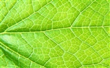 Green leaf photo wallpaper (6) #6