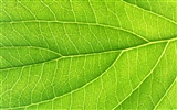 Green leaf photo wallpaper (6) #10