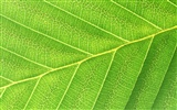 Green leaf photo wallpaper (6) #11