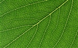 Green leaf photo wallpaper (6) #12