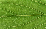 Green leaf photo wallpaper (6) #13