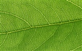 Green leaf photo wallpaper (6) #14