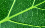 Green leaf photo wallpaper (6) #15