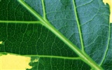 Green leaf photo wallpaper (6) #16