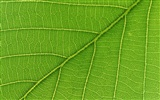 Green leaf photo wallpaper (6) #17