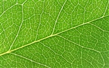 Green leaf photo wallpaper (6) #18