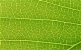 Green leaf photo wallpaper (6) #19