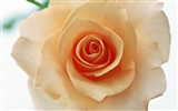 Rose Photo Wallpaper (4) #14