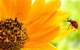 Beautiful sunflower close-up wallpaper (1)