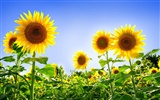 Beautiful sunflower close-up wallpaper (1) #60667